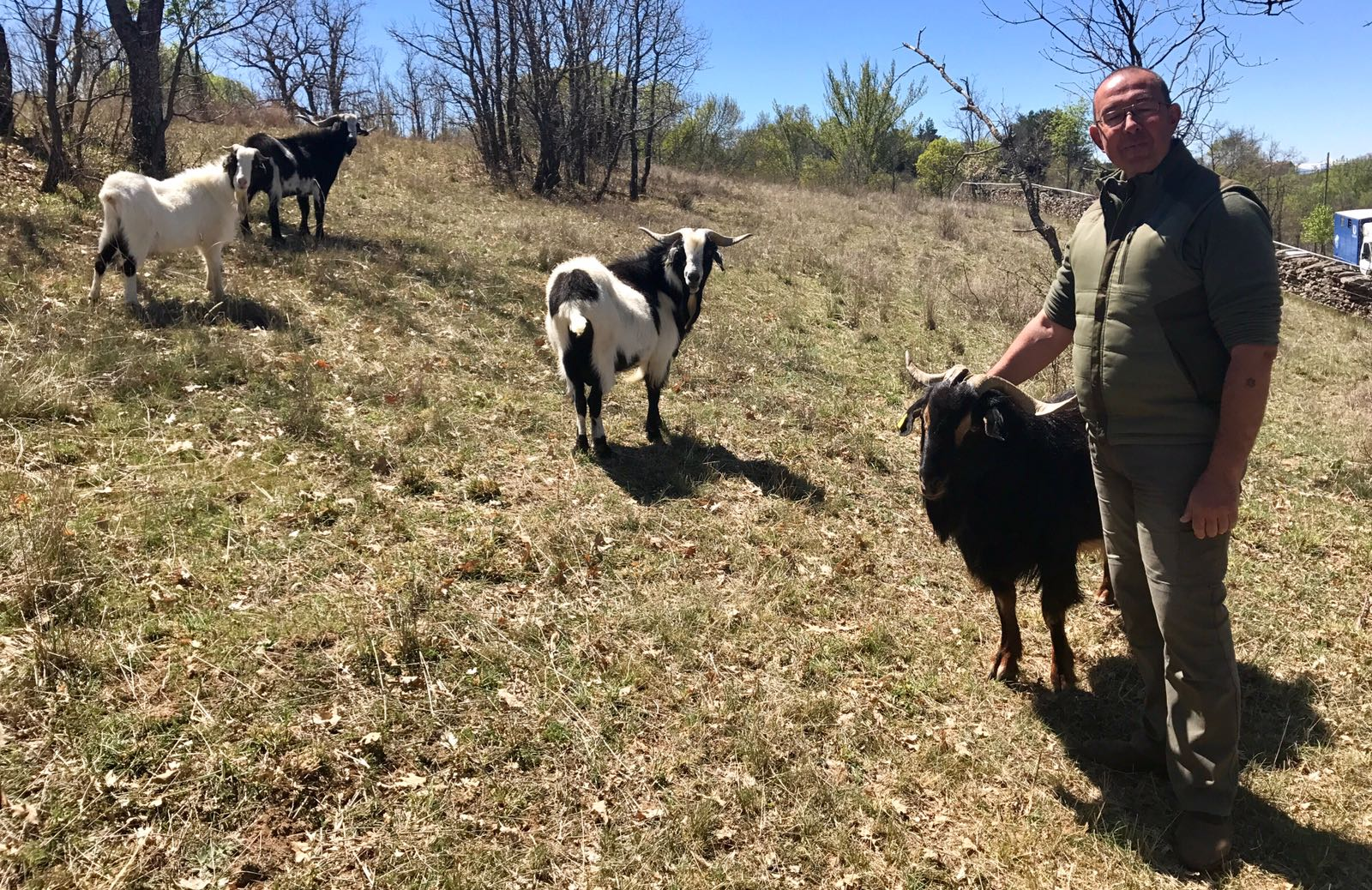 El cabrero Luís González con sus Cabras en Prádena del Rincón