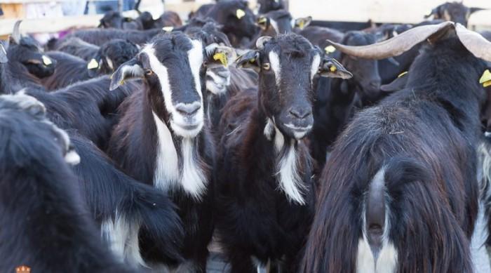 rebaño de cabras El Boalo