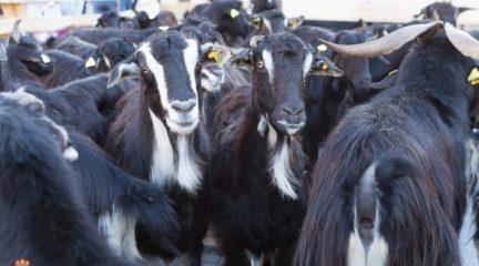 La Escuela de Pastoreo comienza sus prácticas con el rebaño de cabras municipal de El Boalo