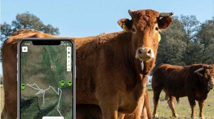 El Boalo estrena un programa piloto para marcar al ganado con GPS en que participan 600 ovejas, 100 vacas y seis caballos además del rebaño de cabras municipal