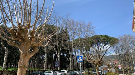 Nuevos ejemplares de moreras en la avenida de los Reyes Católicos de El Escorial