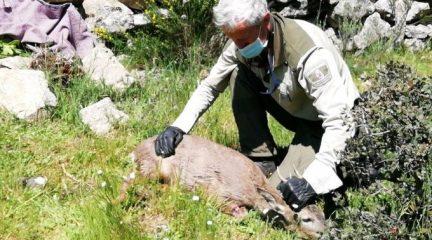 Unos perros sueltos matan a una cría de corzo en El Boalo