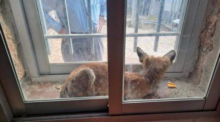 Un zorro es rescatado en Hoyo de Manzanares tras quedar atrapado en la ventana de un inmueble