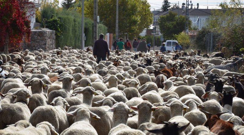 17/10/2020 El rebaño trashumante de ovejas merinas recorre la zona noroeste pero no pasa por la capital para evitar aglomeraciones.  El rebaño trashumante formado por 1.100 ovejas merinas y 200 cabras recorre este sábado Guadarrama, Villalba, Alpedrete y Galapagar, entre otros municipios, para llegar a la granja de la zona noroeste en la que pasarán el invierno, sin entrar en Madrid capital, para evitar aglomeraciones.  SOCIEDAD ESPAÑA EUROPA MADRID AYUNTAMIENTO DE GUADARRAMA